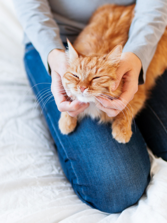 Cute ginger cat lies on woman's hands. Fluffy pet comfortably settled to sleep or to play. Cozy morning bedtime at home. Фото со стока