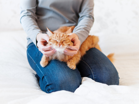 Cute ginger cat lies on woman's hands. Fluffy pet comfortably settled to sleep or to play. Cozy morning bedtime at home. Banque d'images