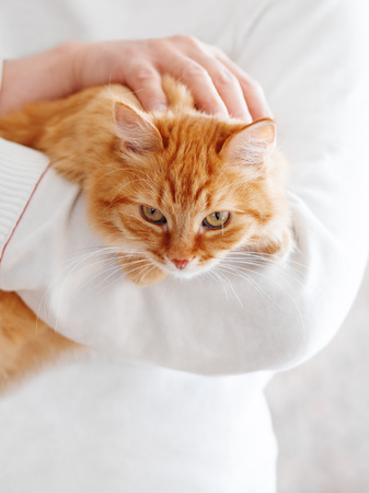 Cute ginger cat is sitting on mans hands and staring at camera. Symbol of fluffy pet adoption. Imagens