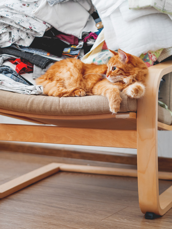 Cute ginger cat lying on a chair. Mess in room, outfits stacked in disorder. Furry pet looks with curiosity Imagens