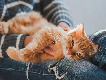 Nette Ingwerkatze, die auf Frauenknie döst. Frau in zerrissenen Jeans streichelte ihr flauschiges Haustier. Gemütliches zu Hause.