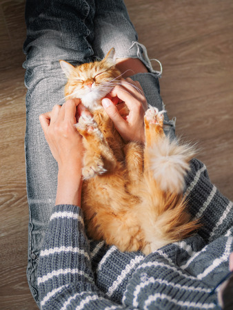 Cute ginger cat dozing on woman knees. Woman in torn jeans stroking her fluffy pet. Cozy home. Top view.