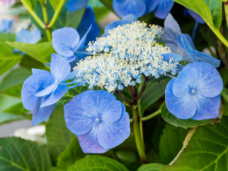 Blooming Hydrangea paniculata or Panicled hydrangea. Blue flowers with green leaves.