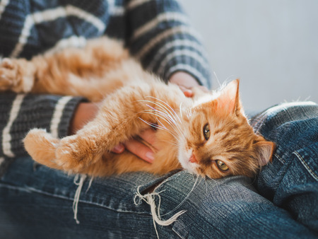 Cute ginger cat dozing on woman knees. Woman in torn jeans stroking her fluffy pet. Cozy home.