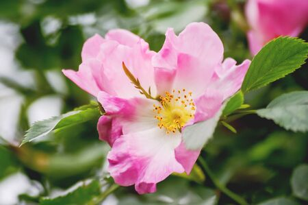 Blooming flowers of pink wild rose. Natural summer background with blossom bush.