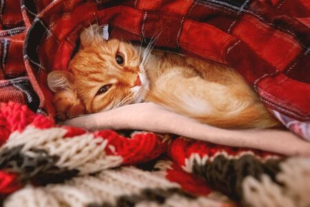 Cute ginger cat sleeps on a pile of warm clothes. Red tartan shirt and scarf are folded in disorder. Fluffy pet is dozing. Cozy home background. Zdjęcie Seryjne