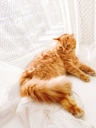 Cute ginger cat lying on window sill with tulle curtain. Fluffy pet is staring with curiosity. Sunny day in cozy home.
