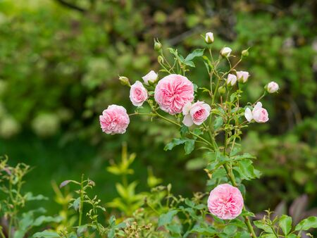 Natural summer background with David Austin pink peony roses. Beautiful blooming flowers on green leaves background. 写真素材