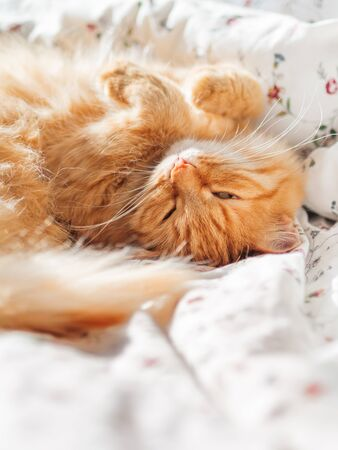 Cute ginger cat lying in bed under a blanket. Fluffy pet comfortably settled to sleep. Cozy home background with funny pet. Copy space. Zdjęcie Seryjne