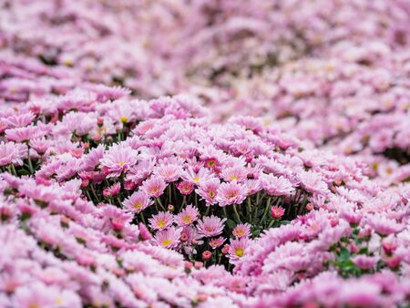 Large outdoor flower beds with pink chrysanthemums.