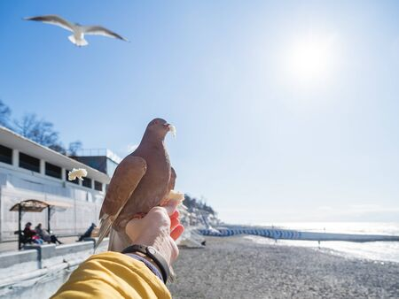 Pigeon snatched a piece of bread from the woman's hand. Feeding birds. Bright blue sky and sea embankment on background. Sochi, Russia.
