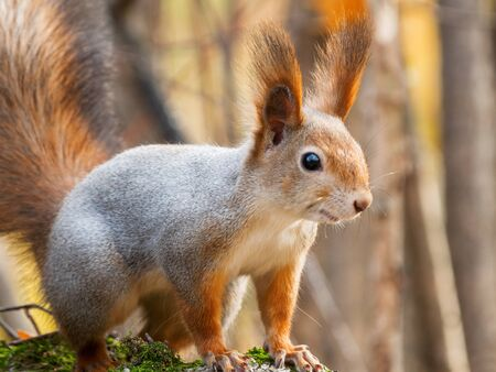 Cute squirrel sitting on birch tree. Wild curious rodent is staring in camera. Autumn forest background. Stock Photo