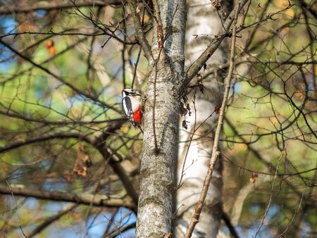 Great spotted woodpecker or Dendrocopos major. Bright bird on birch tree.