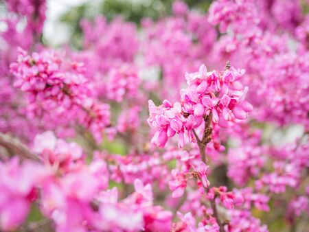 Blooming Cercis chinensis or the Chinese redbud. Natural spring background with sun shining through pink beautiful flowers.