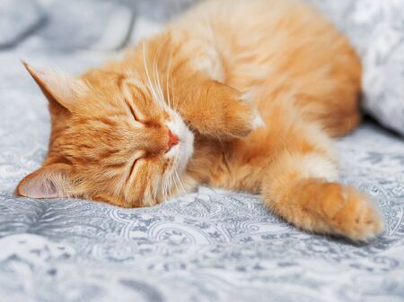 Cute ginger cat sleeps belly up. Fluffy pet has a nap in bed. Cozy morning bedtime.