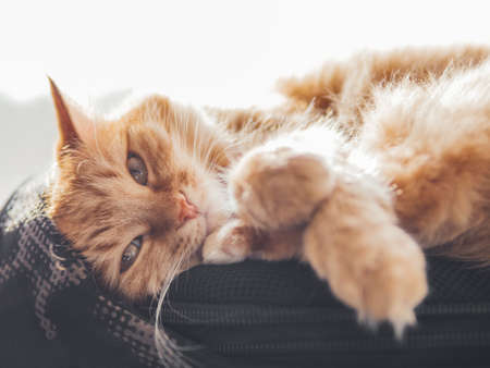 Cute ginger cat sleeps on black backpack on window sill. Fluffy pet has a nap on window sill. Domestic animal at cozy home.