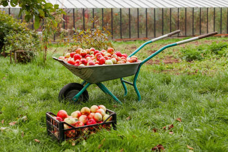 Autumn harvest - wheelbarrow and crate full of apples. Agricultural work in countryside - picking fruits and vegetables at fall season. Apple picking. Archivio Fotografico