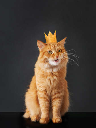 Cute ginger cat with awesome expression on face and golden crown on head posing like lion on black background. Symbol of your inner self.