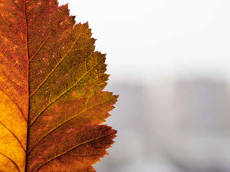 Bright and colorful autumn leaf on blurred town background. Minimalism. Fall season. Copy space.
