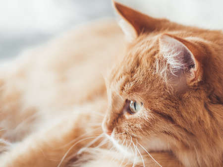 Close up portrait of cute ginger cat staring on something. Curious and funny pet. Fuzzy domestic animal. Banque d'images