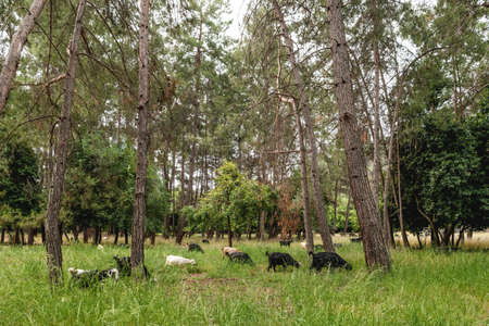Goats graze among the pine trees in the ancient city of Phaselis. Kemer, Turkey.
