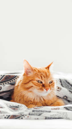 Cute ginger cat lying under blanket in bed. Fluffy pet comfortably settled to sleep. Cozy home background with copy space. 写真素材