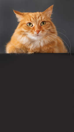 Cute ginger cat on black background. Fluffy pet on dark backdrop. Copy space on vertical banner.