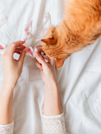 Top view on ginger cat sniffing woman's hands with pink flower petals. Fluffy pet and pet owner crumpled white textile background. 版權商用圖片