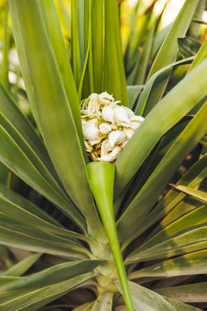 Blooming yucca. White flowers inside green foliage. Green leaves of tropical tree. 版權商用圖片