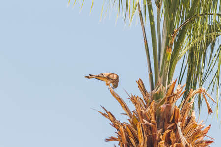 Falcon sits on palm tree on clear blue background. Big bird staring in camera. Sunny day in Hurghada, Egypt. 版權商用圖片