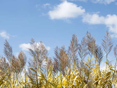 Pampas grass or Cortaderia selloana. Thick and fluffy plant on clear blue sky background. Stock fotó