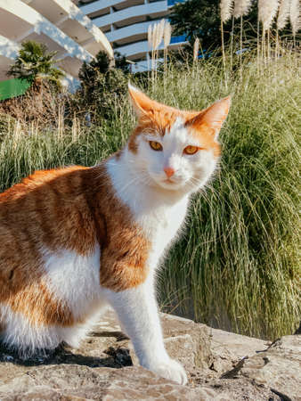 Stray ginger cat sits on pavement on background of cortaderia, pampas grass. Homeless animal on street lit with sunlight.