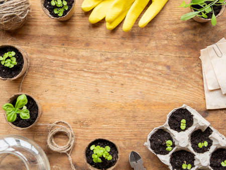 Basil seedlings in biodegradable pots and yellow rubber gloves. Top view on green plants and agricultural tools. Copy space on wooden table.