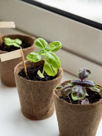 Basil seedlings in biodegradable pots on window sill. Green plants in peat pots. Baby plants sowing in small pots. Trays for agricultural seedlings. Gardening at home. Peaceful hobby. Stock fotó