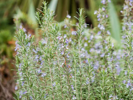 Salvia rosmarinus, commonly known as rosemary. Blooming shrub with fragrant, evergreen, needle-like leaves and purple flowers. Sochi, Russia.