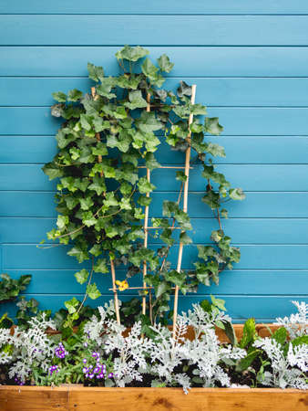 Wooden flower pot with ivy, cactuses and cineraria. Blue wooden wall of backyard with growing plants. Landscaping.