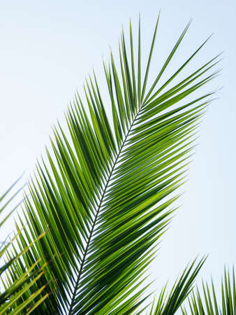 Palm tree leaf on clear blue sky background. Green foliage of tropic tree in sunny day. Sochi, Russia. Stockfoto