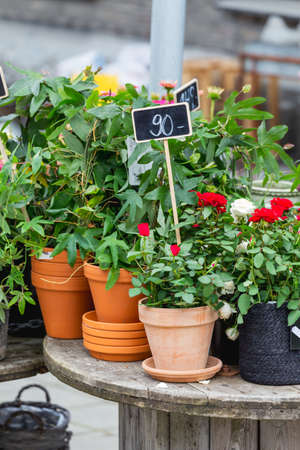 Outdoor shelf with blooming plants in clay pots. Sale of shrubs and houseplants in flower shop. Red roses with chalk price tag at open air market.