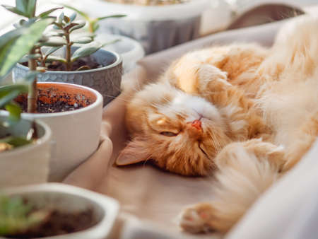 Cute ginger cat sleeps on window sill among flower pots with houseplants. Fluffy domestic animal near succulent Crassula plants. Cozy home lit with sunlight.