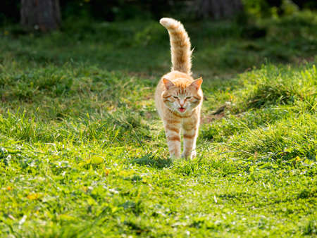 Cute ginger cat walks through grass in park. Free range cat watches its grounds at summer. Stockfoto