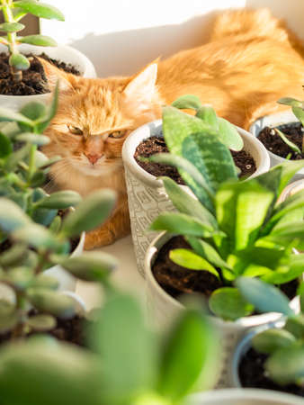 Cute ginger cat lying on window sill among flower pots with houseplants. Fluffy domestic animal near succulent Crassula plants. Cozy home lit with sunlight. Stockfoto