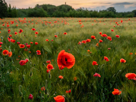 Silhouette of couple over red poppy flowers on field of rye. Green plants with red buds. Beautiful and fragile flowers at summer. Stockfoto