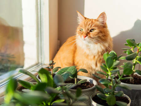 Cute ginger cat sits on window sill among flower pots with houseplants. Fluffy domestic animal near succulent Crassula plants. Cozy home lit with sunlight.
