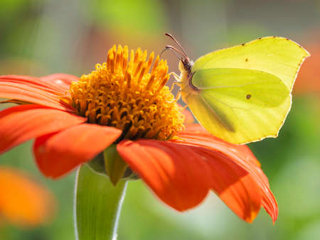 Gonepteryx cleopatra or Cleopatra butterfly collect pollen from red flower. Bright and colorful insect on blooming plant. Summer natural background.