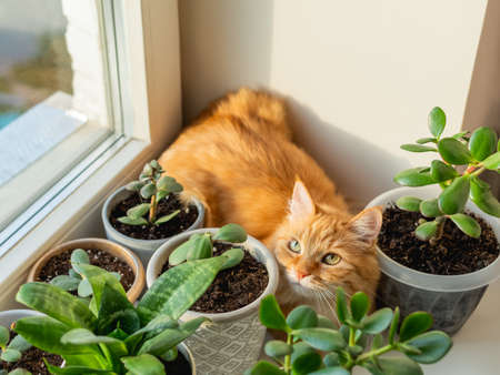 Cute ginger cat hiding on window sill among flower pots with houseplants. Fluffy domestic animal near succulent Crassula plants. Cozy home lit with sunlight.