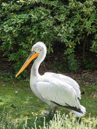 Full-length portrait of Dalmatian pelican or Pelecanus crispus. Big white bird is standing on grass. Summer sunlight.