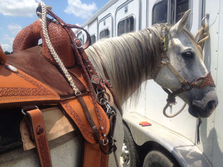 Quarter horse tied to a trailer