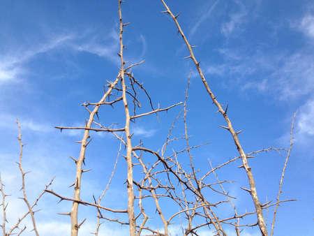 thorn bush: Thorn bush