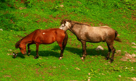 Ariel close up, two horses in love caressing and stalling each other in a green grass field, while a Myna bird is being a hanger-on!, 4K