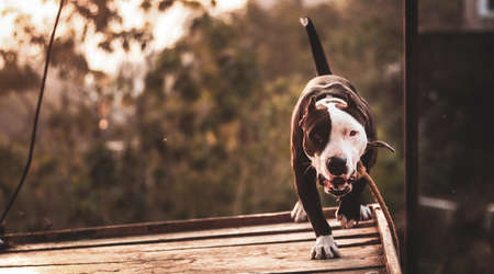 Close up portrait of a young bi-colored Pit-bull terrier dog, chained to a pole by a rope on a tilted platform, staring ferociously at the camera and approaching towards it.